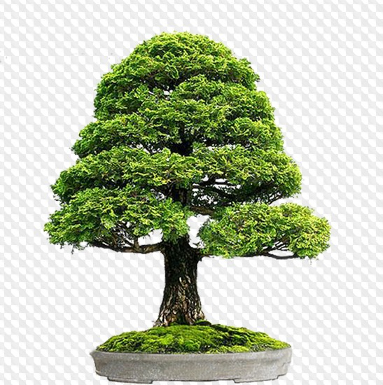 33 Psd 33 Png Bonsai Tree In A Pot Images With A Transparent Background