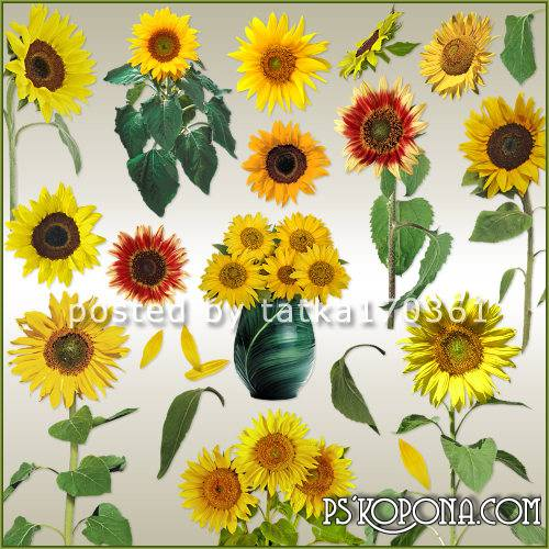 Clipart for Photoshop - Sunflowers on a transparent background