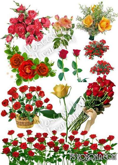 Roses on a transparent background