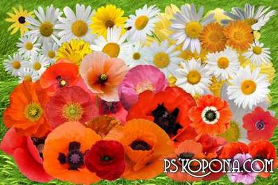 Clipart Camomiles and poppies