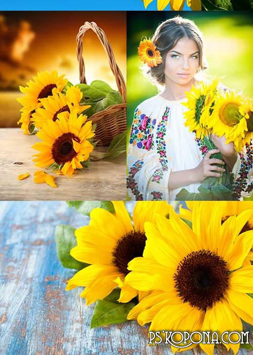 UHQ JPG Backgrounds - bright sunflowers