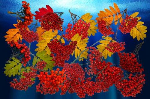 Clipart  the Brush of a mountain ash the autumn