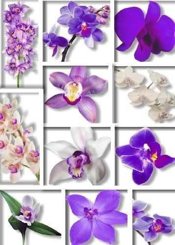Orchids png download - 52 free png images (transparent background)