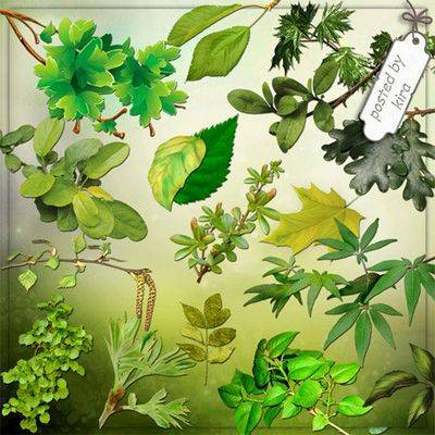 PNG images Branches and leaves of the summer trees - Clipart PNG transparent background