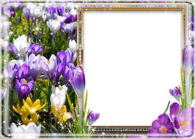Download Floral Photo frame psd  - beautiful spring crocuses