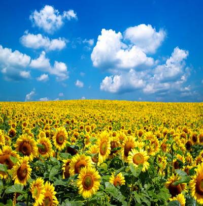 Sunflowers Backgrounds