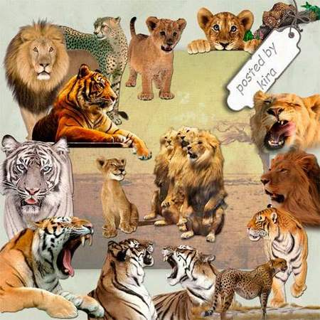 Animal clipart download - Tigers, lions, cheetahs - 95 free png images