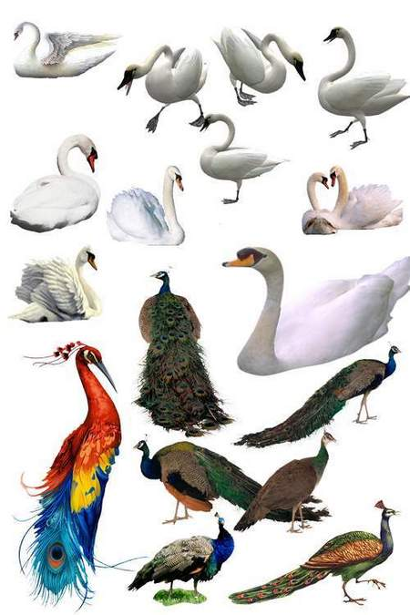 Peacocks and swans on a transparent background - free clipart psd